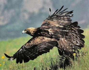 aigle dans une prairie