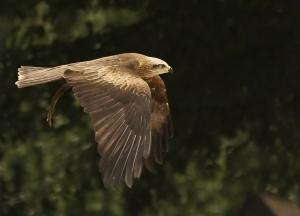 aigle en vol