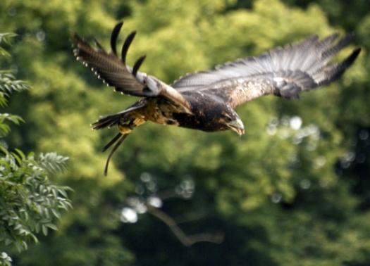 aigle noir de face