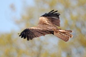 aigle marron volant